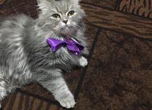 قطة بيتيه