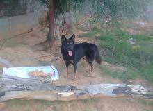 كلب ولف العمر 8شهور للبيع واعر كلب للحراسه