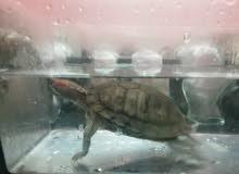 سلحفاة مائيه لمحبين السلاحف