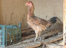ديك + 3 دجاج للبيع