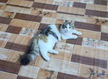 قطط هملايا للبيع انثى وذكر