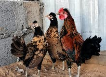 دجاج كويتي والتوصيل مجاني