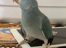 clear head clear tail ringneck baby