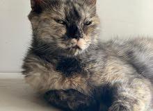 قطة شيرازي منتجة للبيع بسعر مناسب ومجربه من قبل
