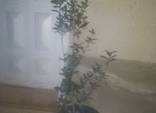 شجرة بلوط و زنزلخت بسعر مغرري