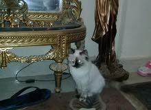 قطه شيرازى للبيع200