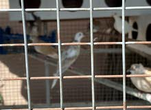 قفص متنقل كبير مع طيور