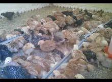 اعلان عن بيع فلوس دجاج ساسو عمر 21 يوم محصن