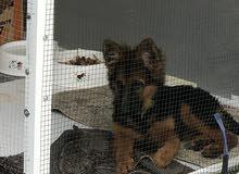 كلب جيرمن شيبرد للبيع