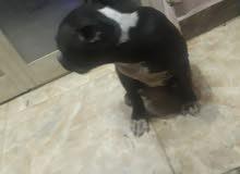 كلب بيتبول بولى باكت عمر 80 يوم