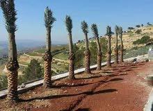 اشجار نخيل مثمر زينه واصل لكافة مناطق المملكة حرق اسعااار