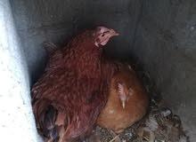 دجاج هولندي