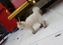 قطه هملايا جكلاتي