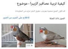 مطلوب طيور زايبر زوج