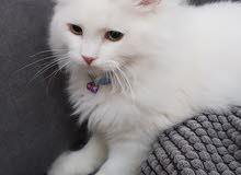 قطط شيرازي أمريكي للبيع
