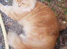 قطة شيرازيه جميله ب29ريال
