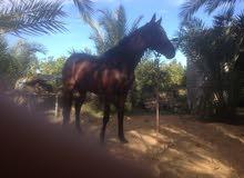 حصان انتاج محلي للبيع تبارك الرحمن .