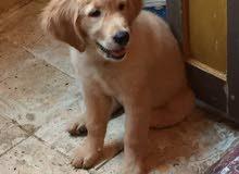 كلب جولدن عنده 3 شهور
