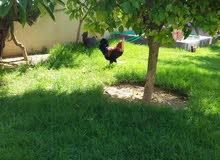 ديك ودجاجة عربية