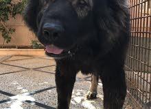 كلب قوقازي ورتوايلر للبيع