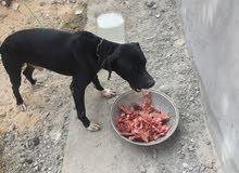 كلب بيتبول للبيع او تبديل بي هاتف يكون موصفات مليحه