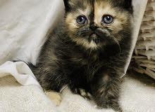 للبيع قطط عمر شهر و10ايام عيون زرق ياكلون بروحهم متعلمين على التو بكس 70د