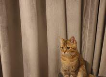 Kitten British Short-hair (male) 5 months old