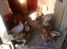 افراخ دجاج احمر وعرب