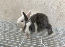 للبيع ارانب الحبه على 5 دنانير  صحتهم زينه يلعبون  للاستفسار الاتصال على