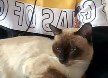 قط سيموي