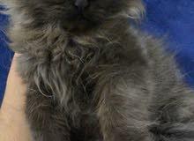 قطط شيرازي بيور ذكر وانثي
