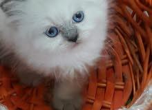 قطة هيمالايا انثي عمر شهر ونصف