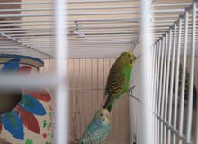 3 budgie pairs for sale ready to breed