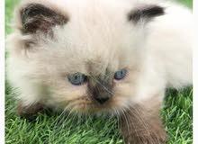 قط هملايه
