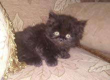 قطة انثي هاف بيكي شهرين ونصف
