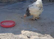 دجاجة لايت (دكتورة ) روماني
