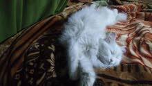 قطه شيرازي لون ابيض شعر كثييييف