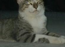 قط خليط شيرازي