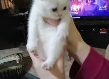 3 قطط شيرازي للبيع