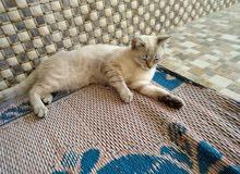 قط سيامي 30 قط شيرازي 30