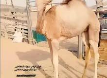 بنت شاهين كشايم