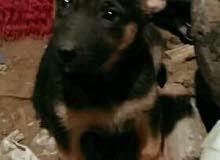 كلبه جرمن
