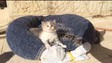 قطه انثى تورتيلا للبيع