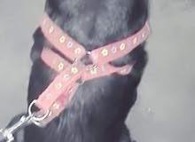 2017 Libra Dog Black