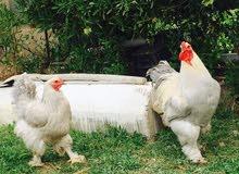دجاج ابراهما ايزابيل سنة وشهرين فول