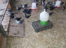 للبيع مشروع قطيع كامل لانتاج البيض