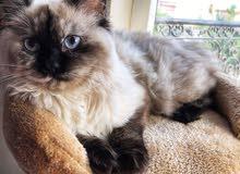 قطة انثى هيمالايا للبيع
