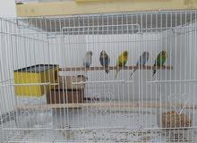 بادج 5طيور  قابل للتفاوض        3انثى 2ذكر مع الاكل و القفص