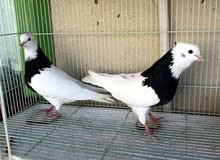 Pair and chicks for sale زوج و فروخ للبیع