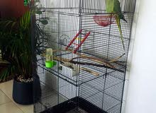 Holland green parrot 10months old with cage